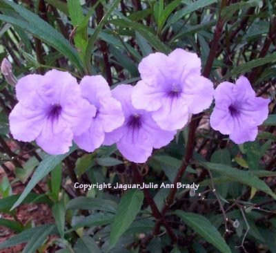 Five Pretty Mexican Petunia Blossoms in a Row