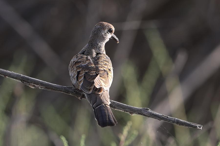 Namaqua Dove - juvenile