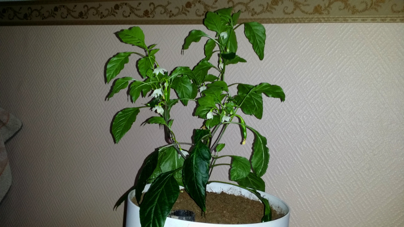 Cayenne Long Slim Kukkii reilusti