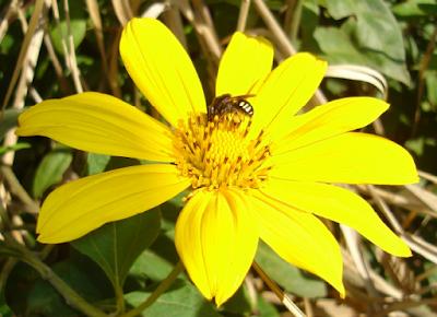 Abelha mandaçaia (Melipona quadrifasciata)