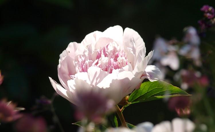 En lyserød, duftende og smuk pæon er Do Tell. Lyse lyserøde kronblade og mørk, trævlet midte