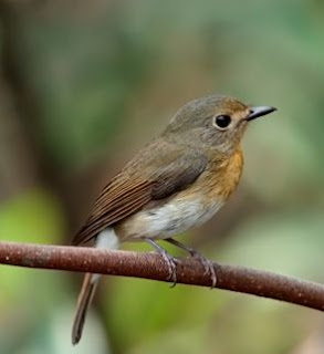 suara burung tledekan gunung betina