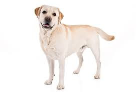 labrador - retriever
