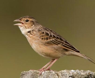 Cara Jitu Membuat Burung Branjangangan Ngeplong Dan Nggacor