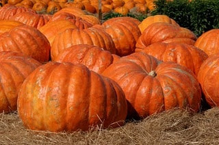 It is believed that the pumpkin is an excellent dietary food for obese people, diabetics as well as people with diseases of the stomach and small intestine.