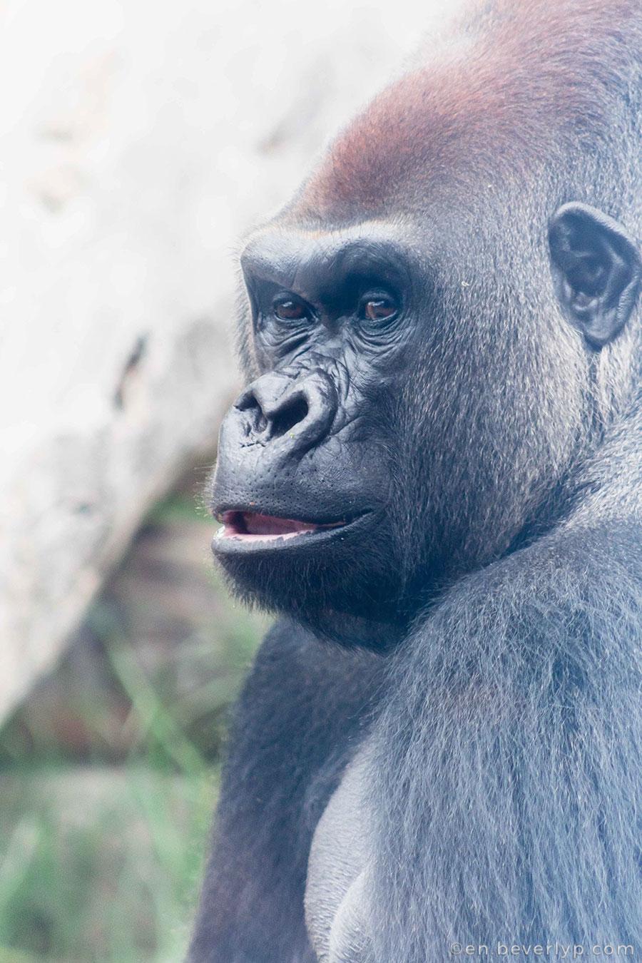gorilla-werribee-zoo