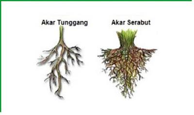 Jenis - jenis akar berdasarkan bentuknya - pustakapengetahuan.com