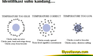 reaksi suhu ayam kub