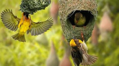 Tips Dan Cara Membedakan Burung Manyar Jantan/Betina Paling Akurat