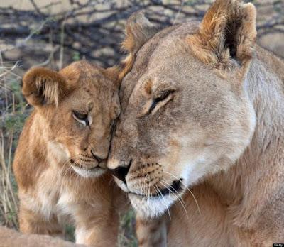 Tierna fotografia de leona con su cria