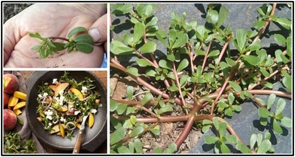 Stop- It's Not Just a Weed! It's an Unrecognized Health-Boosting Plant