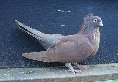 pigeons Rouleur