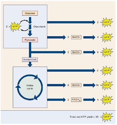 katabolisme sukrosa, ATP, glikolisis, oksidasi piruvat, siklus kreb
