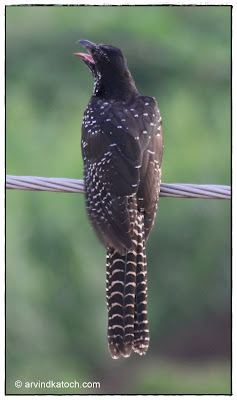 Asian Koel Juvenile (Female) back