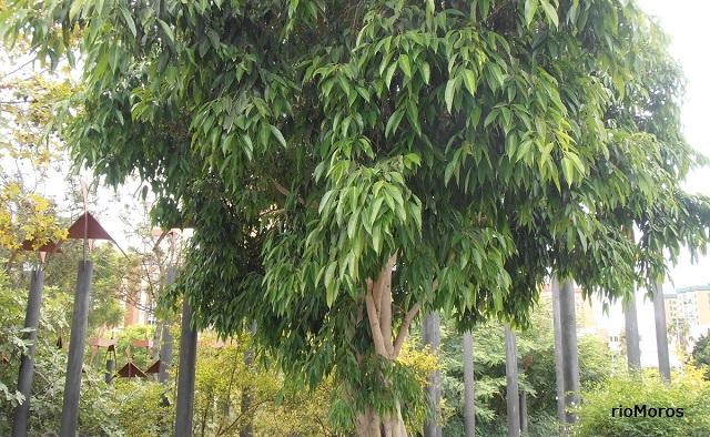 Árbol Ficus de hoja estrecha Ficus binnendykii
