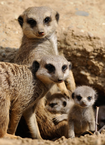 Cute Meerkats Latest Photos Images Funny And Cute Animals