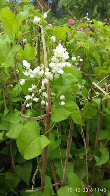 Bunga Air Mata Pengantin Putih