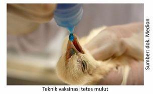 teknik vaksinasi tetes mulut