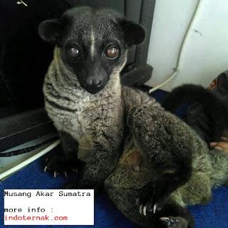 perawatan musang akar sumatra