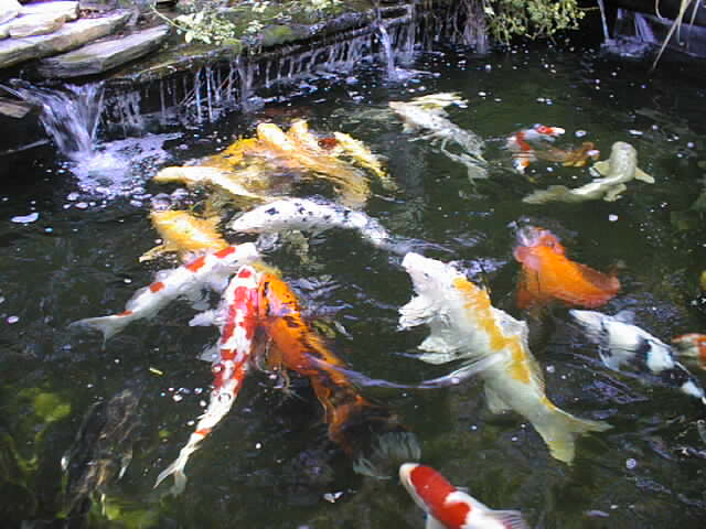 How to design koi pond koi fish care info for Koi fish in pool