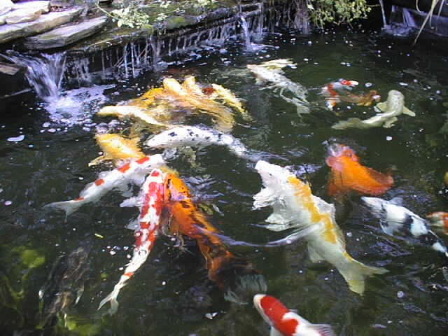 How to design koi pond koi fish care info for Koi goldfish care