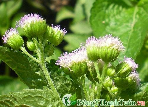 Cách điều trị viêm mũi dị ứng bằng hoa ngũ sắc