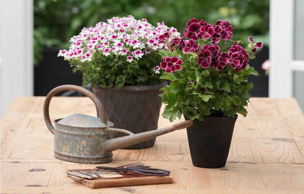 Gerani le regole base per una corretta fioritura estiva