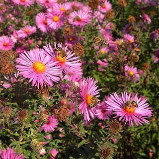 Gambar Bunga Aster yang Cantik 5