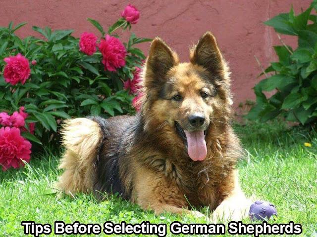 Tips Before Selecting German Shepherds