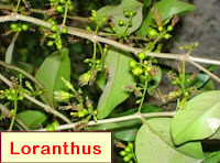 cancer drug use epiphyte (Loranthus)