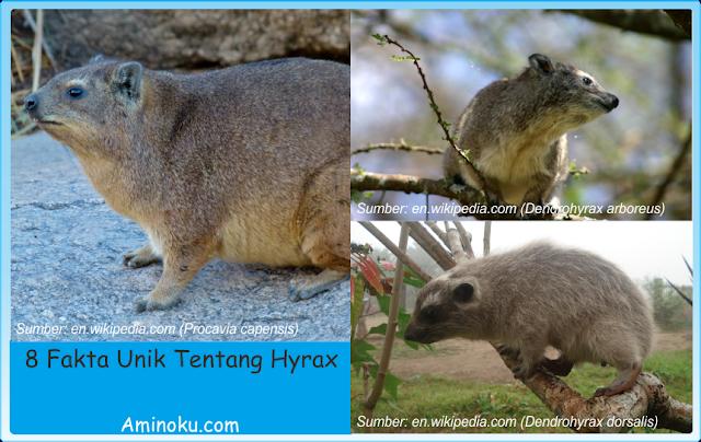 Fakta unik hyrax