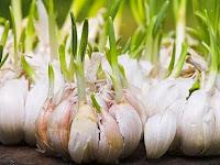 Tips Cara Menanam Bawang Putih Kating Bagi Pemula Agar Sukses