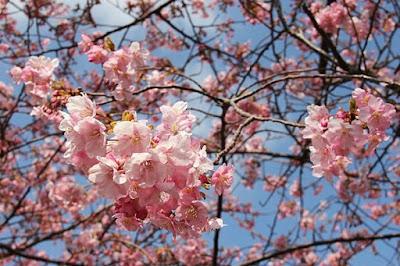 Sakura em Mie