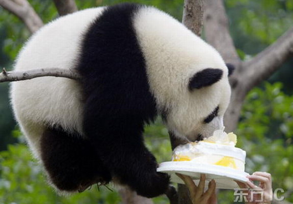 Funny Panda Pictures Images 2012 Funny And Cute Animals