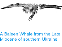 https://sciencythoughts.blogspot.com/2013/08/a-baleen-whale-from-late-miocene-of.html