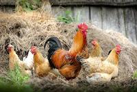 beternak ayam kampung, cara ternak ayam kampung, tips beternak ayam kampung, ayam kampung, rahasia ternak ayam, ternak ayam
