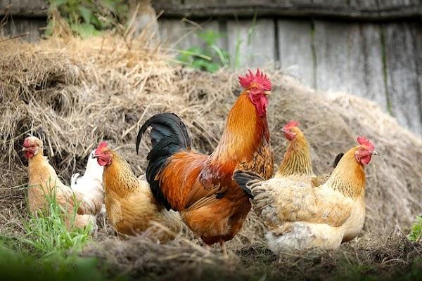 Cara Beternak Ayam Kampung Yang Cepat Berhasil, Gampang Dilakukan