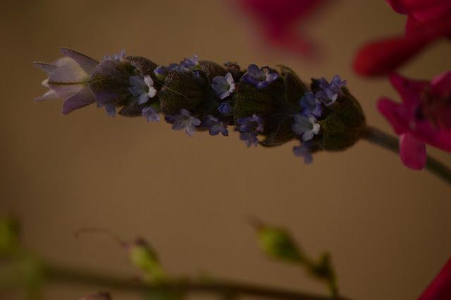 lavender, lavandula, monday vase meme, small sunny garden, amy myers, desert garden