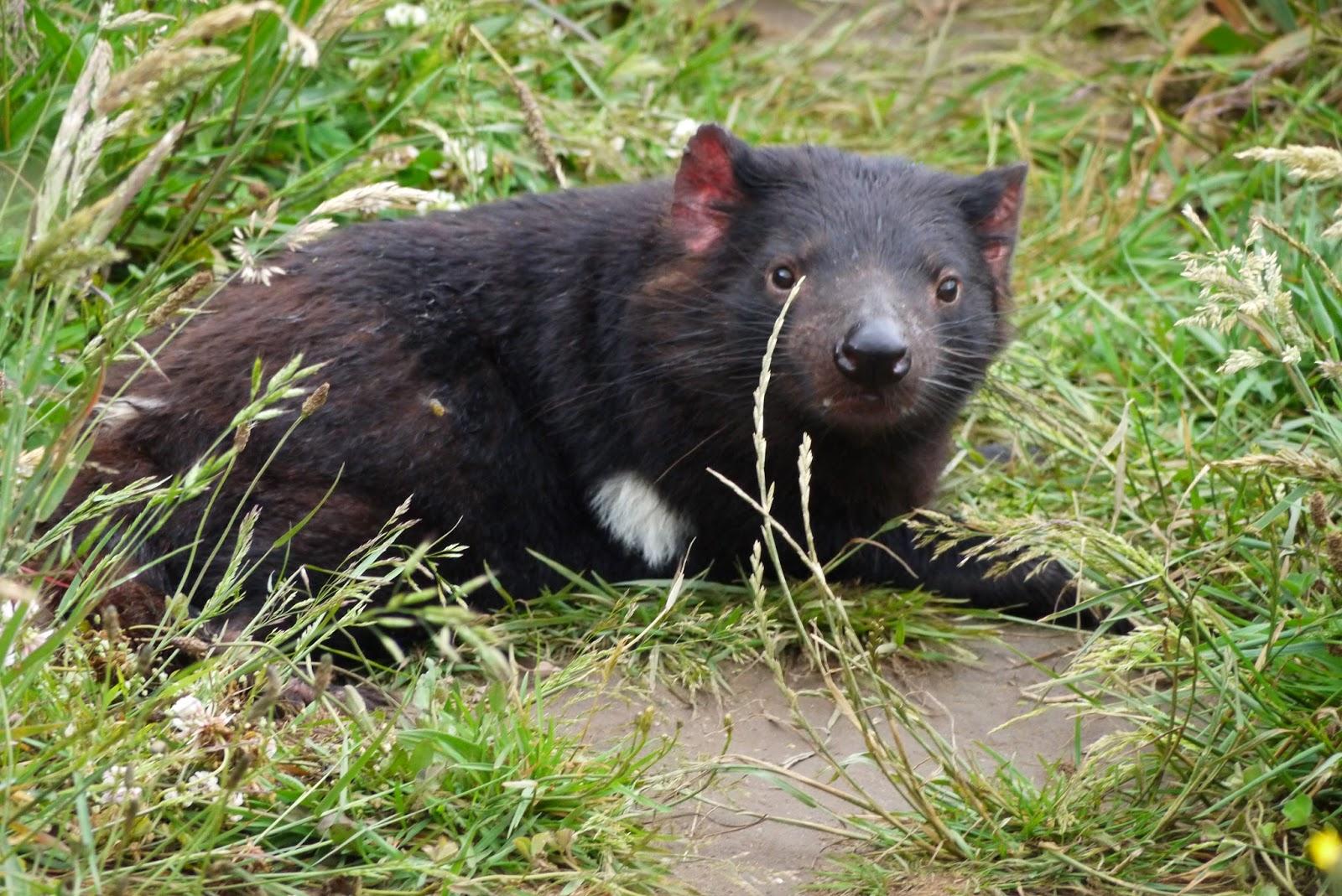 tasmanie animaux dangereux
