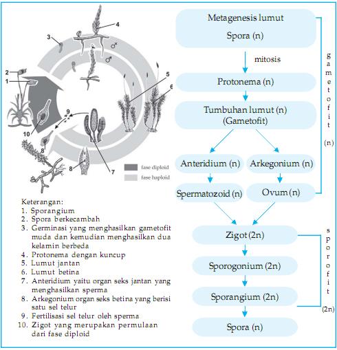 tumbuhan lumut, ciri, contoh, manfaat, klasifikasi, metagenesis
