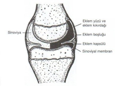 Anatomi Eklem A synchondrosis (or primary cartilaginous joint) is a type of cartilaginous joint where hyaline cartilage completely joins together two bones. anatomi eklem