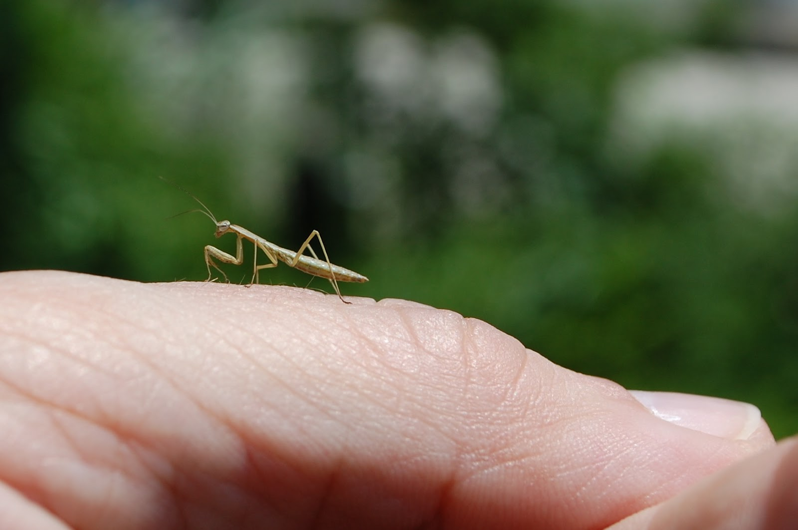 Tiny Praying Mantis