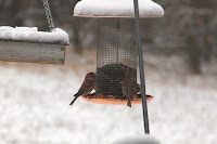 house finch? purple finch?