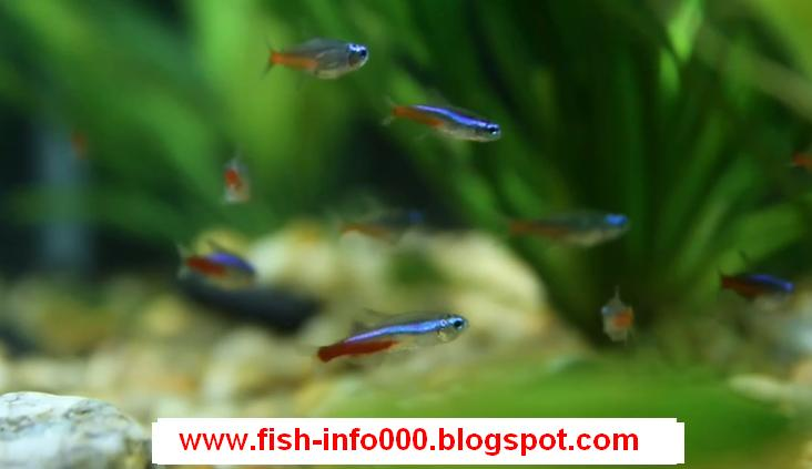 tetra fish male or female - Fish Zone: how to distinguish between male and female neon tetra