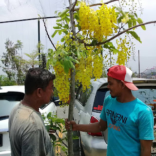 Cassia Fistulla | Golden Shower Tree | Indian Laburnum | Pohon Trengguli