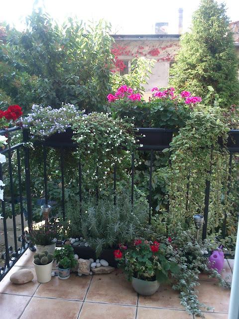 bakopa, pelargonie, kocanka, komarzyca, jesień, balkon, kwiaty