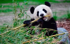 Kini Anda Bisa Menyaksikan Panda di Taman Safari