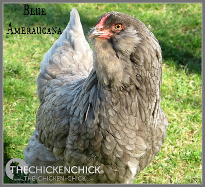 "While Ameraucanas are more common in the United States than Araucanas, they are available only through reputable breeders, regardless of advertisements by hatcheries and other large-scale, distribution sources. If you are in the market for Ameraucanas and see an advertisement for ""Americanas,"" be forewarned: there is no such breed."