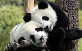 Yeyyyy Liang Liang Si Panda Sudah Melahirkan Anak !