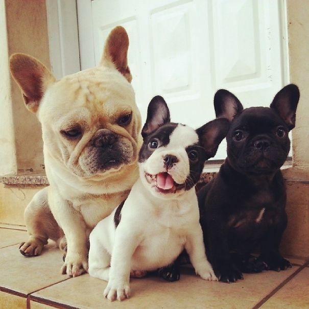bulldog-puppy-cute-dog-photography-14